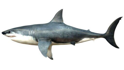 La inmensidad del megalodón estaba 'fuera de escala', incluso para un tiburón