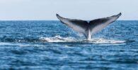Las ballenas azules de la Antártida regresan a Georgia del Sur un siglo después de que casi fueran aniquiladas
