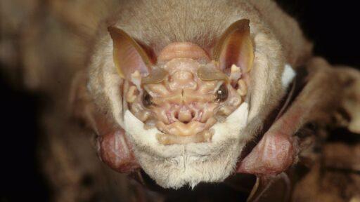 Los murciélagos más feos del mundo cantan a través de 'máscaras faciales' hechas de piel para cortejar a las damas
