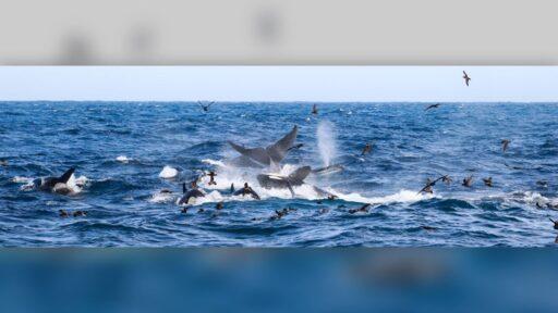 'Caos de clics y sonidos desde abajo' mientras 70 orcas matan a la ballena azul