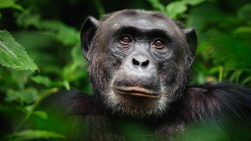 Chimpancés: inteligentes, sociales y violentos