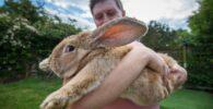 El conejo más grande del mundo desaparecido, presuntamente robado
