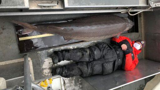El esturión 'monstruo' de 7 pies encontrado en el río Detroit podría tener más de 100 años
