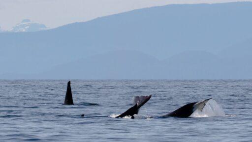 Las orcas 'atacaron' a la madre y al cría jorobadas.  Ahora falta el ternero.