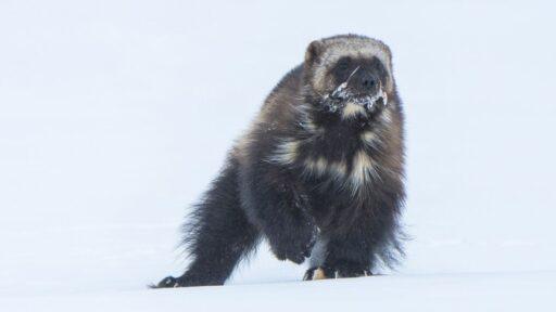 Los conservacionistas quieren traer a los astutos glotones de regreso a las Montañas Rocosas