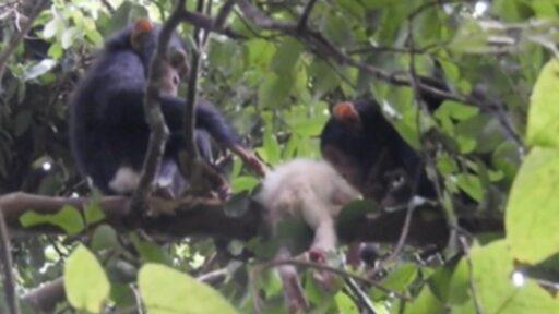 Bebé de chimpancé albino asesinado por sus ancianos días después de un raro avistamiento