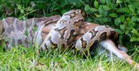 Fotos de serpientes: las pitones se tragan cocodrilos y otros animales ... enteros