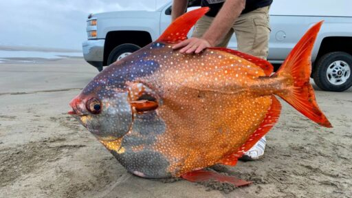 Majestuoso pez luna de 100 libras llega a la playa de Oregon