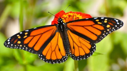 Mariposa monarca: datos sobre los icónicos insectos migratorios