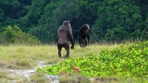 Tropa de chimpancés golpea y mata a bebés gorilas en un enfrentamiento sin precedentes (Video)