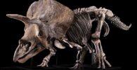 ¿Quién comprará 'Big John', el triceratops más grande jamás encontrado?