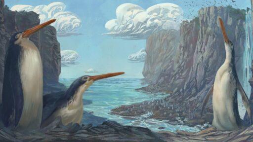 El pingüino gigante extinto de nariz de aguja de Nueva Zelanda es una especie recién descubierta