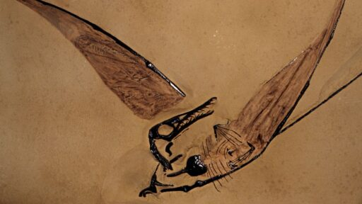 Hallan fósil de 'dragón volador' preservado dentro de una roca en el desierto chileno