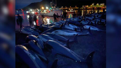 La matanza de más de 1.400 delfines en las Islas Feroe genera condena en todo el mundo