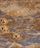 Los guepardos luchan contra un río embravecido en una foto impresionante.  ¿Sobrevivieron?