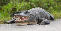 Restos humanos encontrados dentro de un caimán de 500 libras.  ¿Qué tan comunes son los ataques de caimanes?